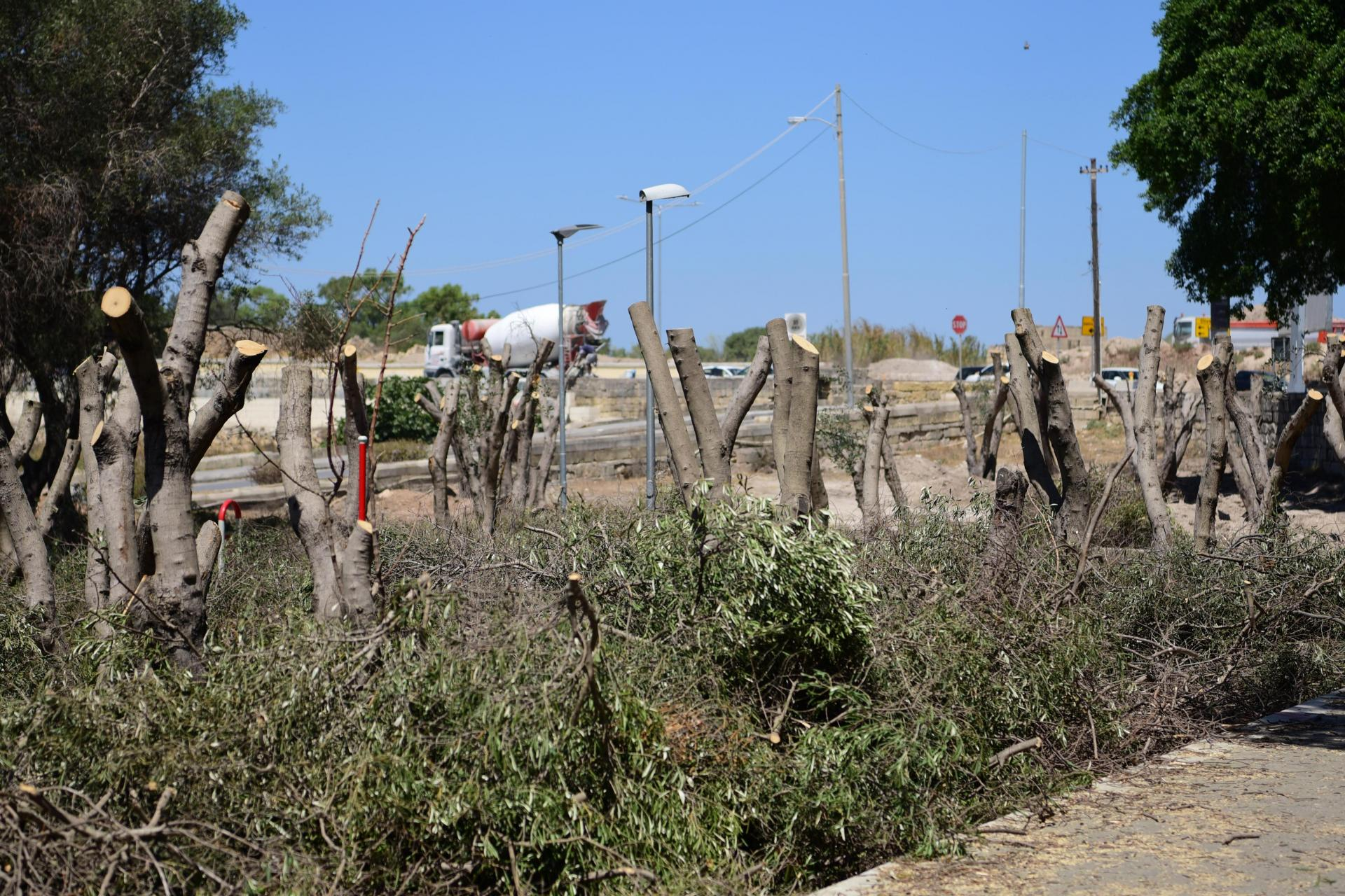 Several trees have been aggressively pruned ahead of being transplanted. Photo: Mark Zammit Cordina