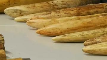 Swiss customs seize record 262kg of ivory