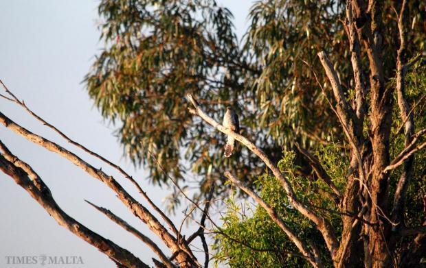 A cuckoo, a protected bird, rests in a tree at Bidnija on April 15. Photo: Mark Zammit Cordina