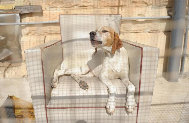 A dog relaxes on a sofa at the Island Sanctuary in Delimara on April 8. Photo: Matthew Mirabelli