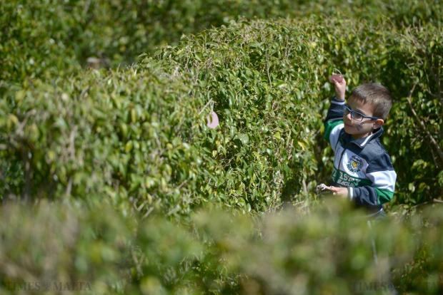 A young boy searches for Easter egg treats hidden in the San Anton Gardens maze during an Easter egg hunt held on April 7 to raise money for Inspire. Photo: Matthew Mirabelli