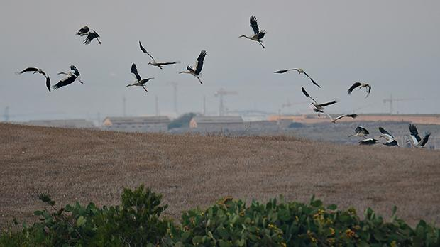 The flock of 18 storks that arrived in Malta during the second week of August was decimated. Photo: Natalino Fenech