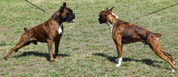 Dog fighting has become more violent, a former fighter has said. Photo: Shutterstock