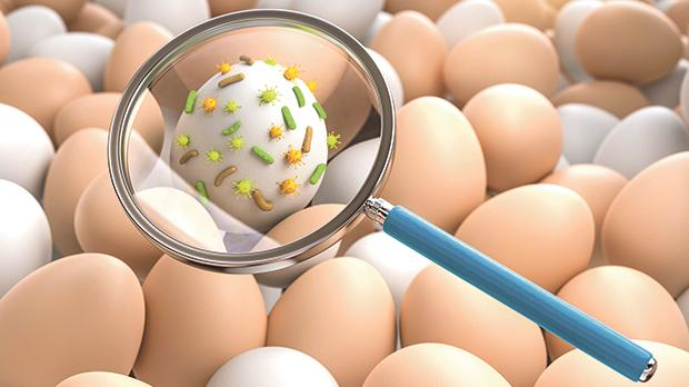 Poultry may carry salmonellathat can contaminate the inside of eggs before the shells are formed. Eggs can also become contaminated from the droppings of poultry through the laying process or from the environment. Photo: Shutterstock.com