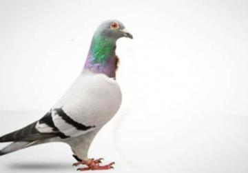 Belgian pigeon sold for record €1.25 million