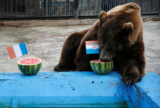 Buyan the bear chooses the melon holding the Croatian flag, on Sunday.