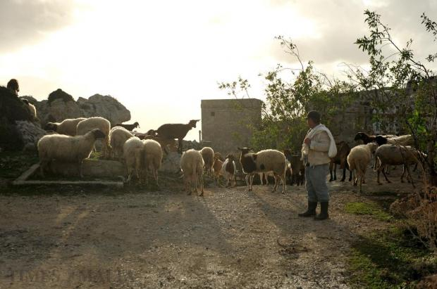 Shepherd Guzi Muscat tends his sheep at Dingli Cliffs on January 7. Photo: Chris Sant Fournier