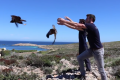 Watch: Marsh Harriers released after six months of rehabilitation