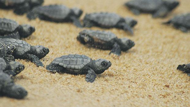 A group of loggerhead hatchlings scrambling towards the sea at the long-standing nesting site of Spiaggia dei Conigli.