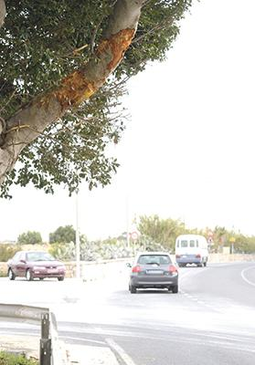 The damaged tree is seen in Valletta Road, Żurrieq. Photo: Matthew Mirabelli