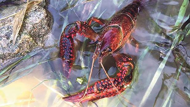 Red crayfish, an invasive species, began spreading through Malta last year. Photo: Matthea Wadge.