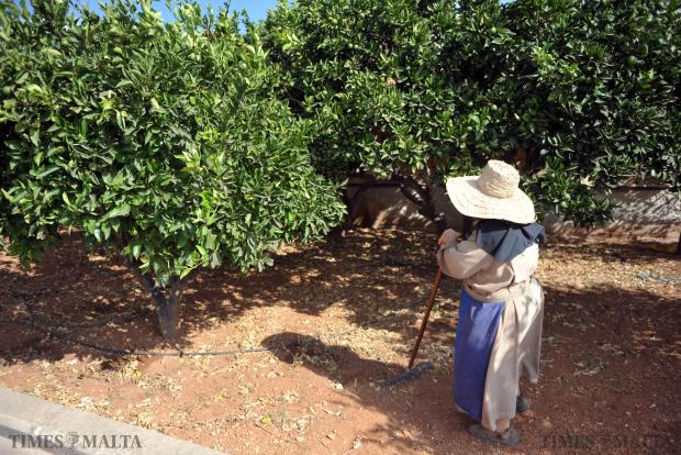 A nun from the Order of St Clare takes a minute to look at the orange trees while tending to the convent garden on August 8. Photo: Jason Borg
