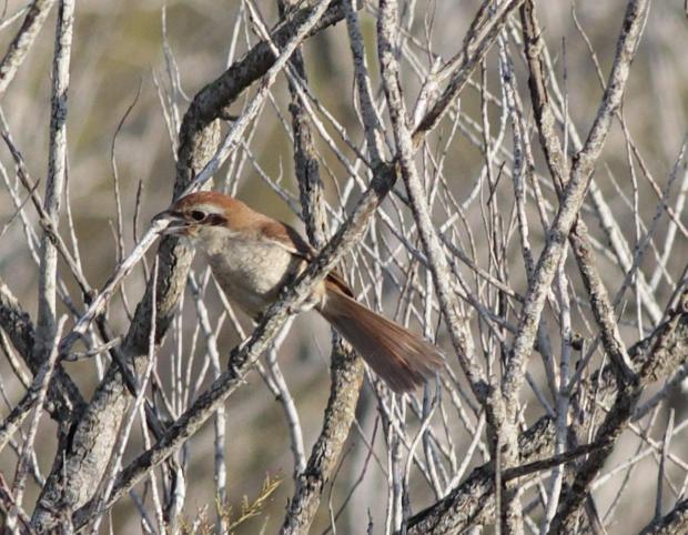 The Brown Shrike. Photo: BirdLife