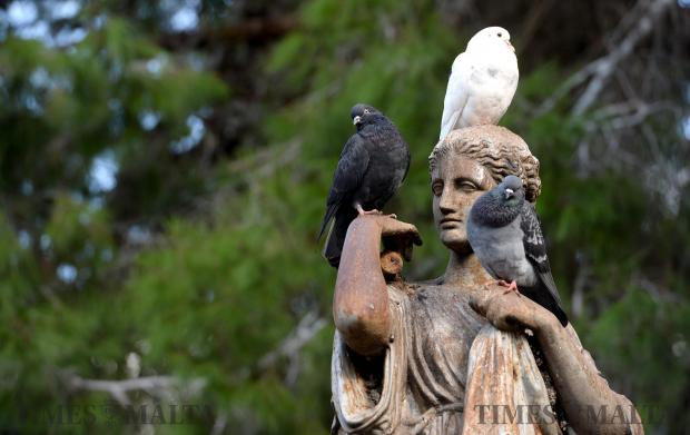 Pigeons make themselves confortable on a statue in San Anton Gardens on November 15. Photo: Matthew Mirabelli