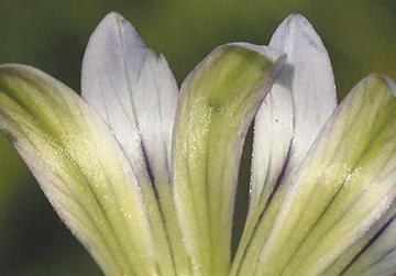 The variety mirandae, characterised by the completely pale green underpetals. These species are named after Mifsud's brunette son and blonde daughter.