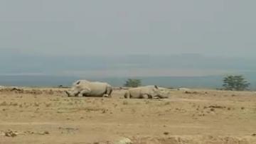 Kenya group hopes IVF can save white rhino