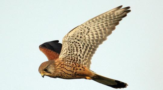 A Kestrel In Flight Photo Birdwatch Ireland PA Wire