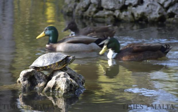 A fresh water turtle rests on some rocks in a pond whilst three ducks pass by at San Anton Gardens in Attard on February 11. Photo: Mark Zammit Cordina