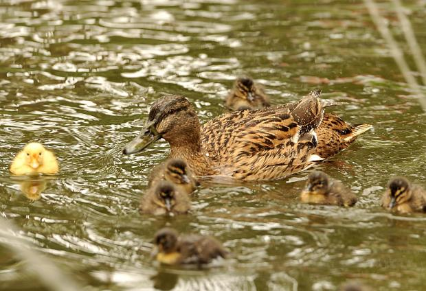 A duck and her chicks swim across a San Anton pond on April 11. Photo: Chris Sant Fournier
