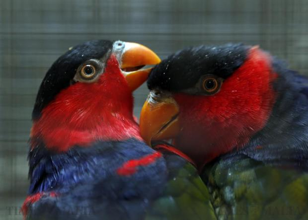 Two black-capped lory birds preen each other at 33rd annual Bird Breeders Association show at Mount Carmel Hospital in Attard on January 10. More than 1,500 parrots, canaries, song birds and exotic species were on display in the main hall of the hospital. Photo: Darrin Zammit Lupi