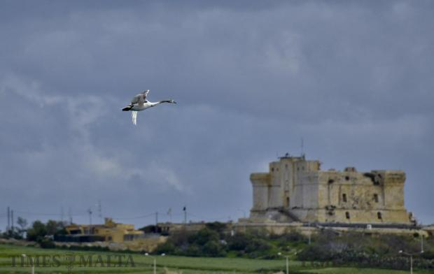 An injured mute swan flies past the San Luċjan Tower in Birżebbuġa on January 17, a few hours after conservationists realised it had been shot. The bird, which was not one of the bevy that landed on New Year's Day in Marsalforn, Gozo delighted many as it entered St Thomas Bay in the morning – but it spent the rest of the day surrounded by Administrative Law Enforcement. Photo: Mark Zammit Cordina