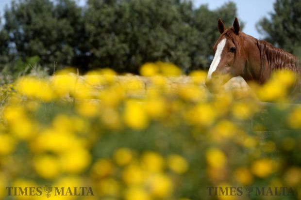 A horse enjoys a morning in the sun in Mgarr on April 2. Photo: Matthew Mirabelli