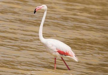 A flamingo at Salina, in St Paul's Bay. Photo: Nyal Xuereb
