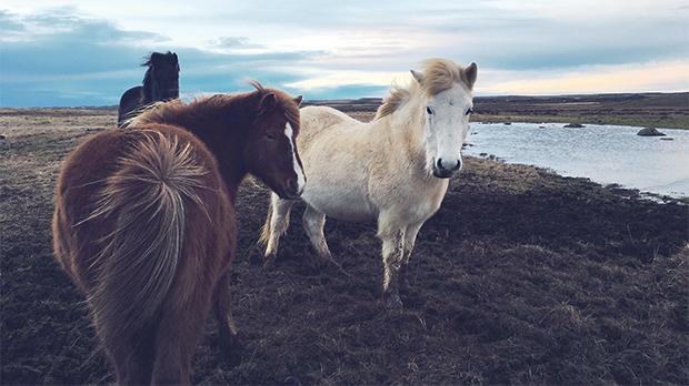 Don't call the Icelandic horses ponies.