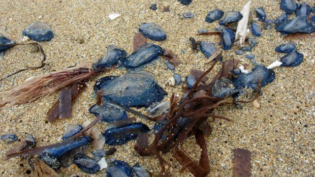 The beached Velella Velella at Golden Bay. Photo: Sharklab.