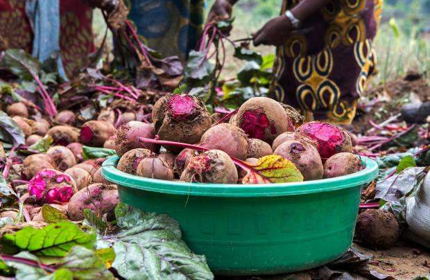 Raw beetroot bulbs harvested from a farm are packed in a basin in Rubavu district, Western province.