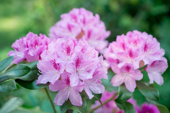 Rhododendron, destroyer of armies. Photo: Ottochka, Shutterstock