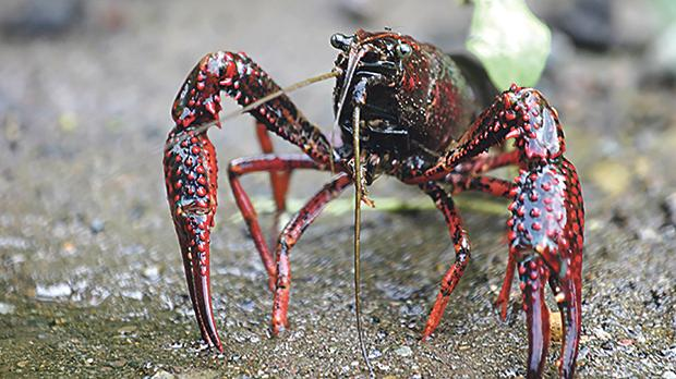Red swamp crayfish feed on the tadpoles of the only native frog in Malta – the painted frog.