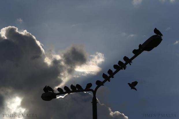 Pigeons gather on street lights at the bus terminus in Valletta on December 21. Photo: Darrin Zammit Lupi