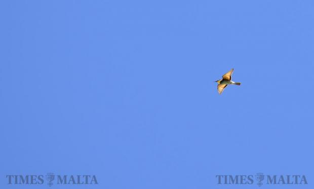 A bee-eater flies overhead outside Rabat on August 31. Photo: Mark Zammit Cordina