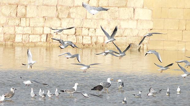Gulls at Salina Nature Reserve. Photo: Aron Tanti