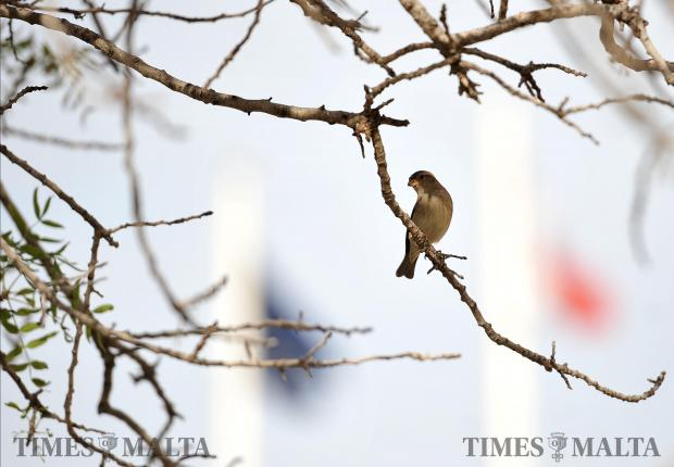 A sparrow perches itself on a branch in Valletta on November 30. Photo: Chris Sant Fournier