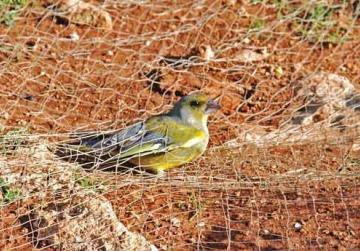 Malta will continue to consider options on trapping of song birds - parliamentary secretary