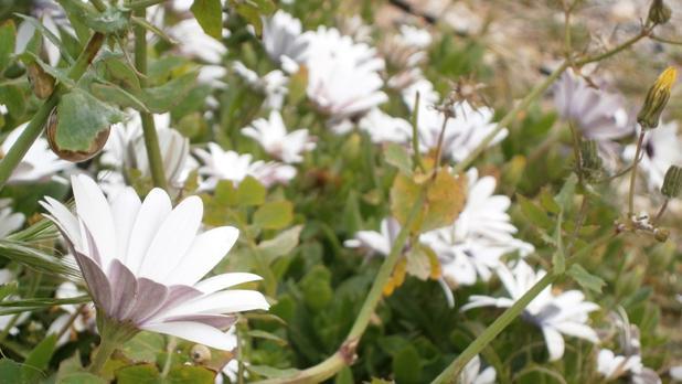 Flowers at Fomm ir-Riħ. Photo: Cristina Borg