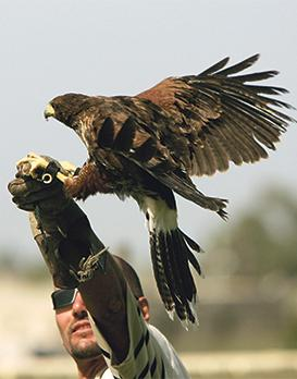 There is now a regulatory framework for the practice of falconry. Photo: Darrin Zammit Lupi
