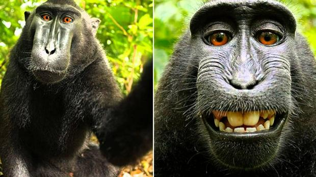 Now-famous selfie of the monkey grinning