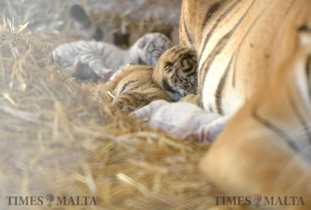 A litter of five cubs including two which boast the rare and distinctive white coats lie near their mother at L-Arka ta' Noe in Siggiewi on June 8. Photo: Matthew Mirabelli