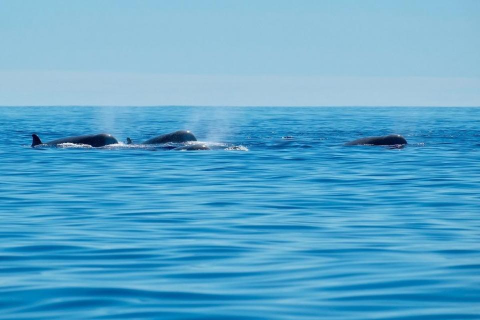 A pod of northern bottlenose whales. Photo: Shutterstock