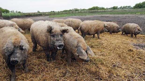 Mangalica pigs roaming around in their grazing area in Kaba, Hungary. Photos: Laszlo Balogh/Reuters
