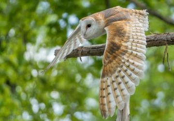 Hunters launch project for re-introduction of barn owl