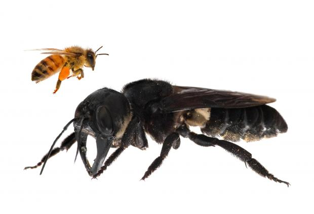 A photomontage provided by Global Wildlife Conservation showing a living Wallace's giant bee and a European honeybee, which is approximately four times smaller.