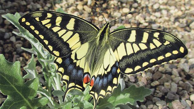 Emerged Swallowtail