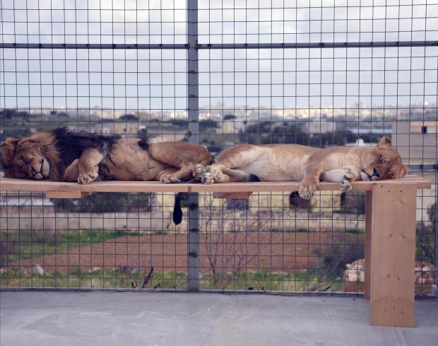 Male and Female lions take a nap on a bench at the Wildlife Park Zoo in Mtahleb on December 31. Photo: Mark Zammit Cordina