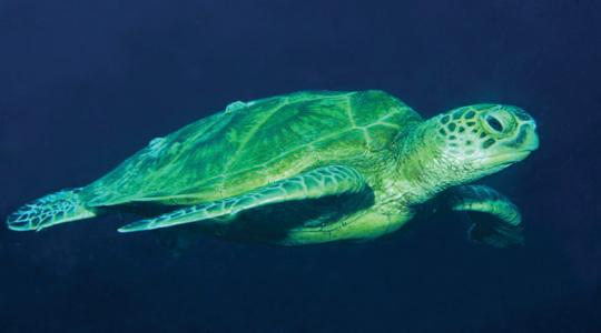 Sea turtles are harmed from eating disposed plastic bags which they mistake for jellyfish.