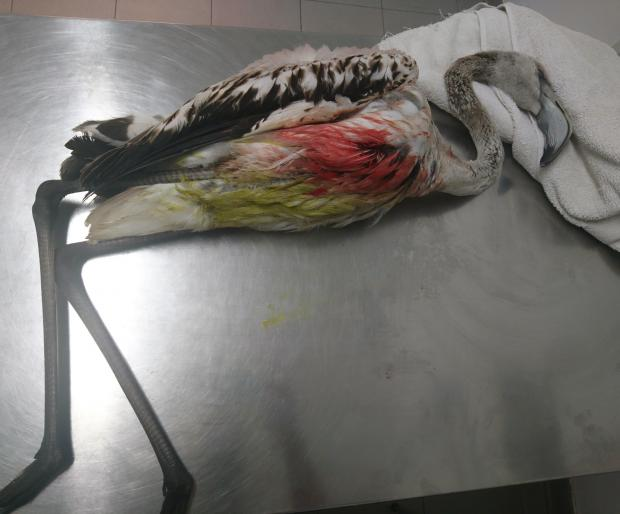 A young flamingo was shot using illegal large-sized pellets. Photo: BirdLife Malta