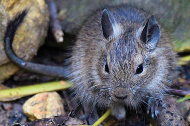 Unwelcome Chilean rodent joins the island's rat pack